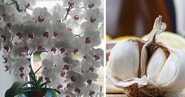 Чеснок — спасение для орхидей! Через месяц мой фаленопсис выпустил несколько побегов