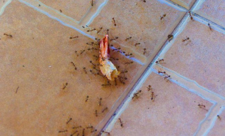 Домашние мелкие муравьи в квартире как избавиться