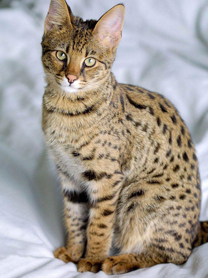 17 удивительных пород кошек, которые стоят безумно дорого