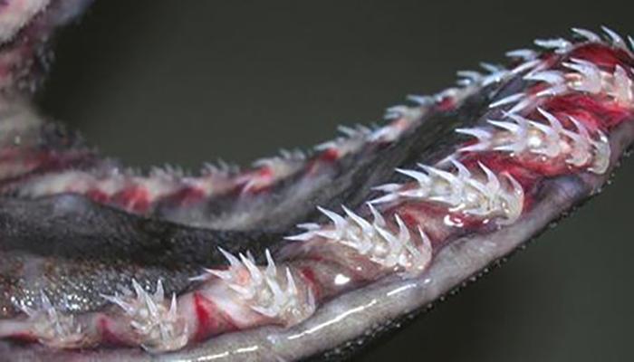 У берегов Португалии поймали жуткую реликтовую акулу