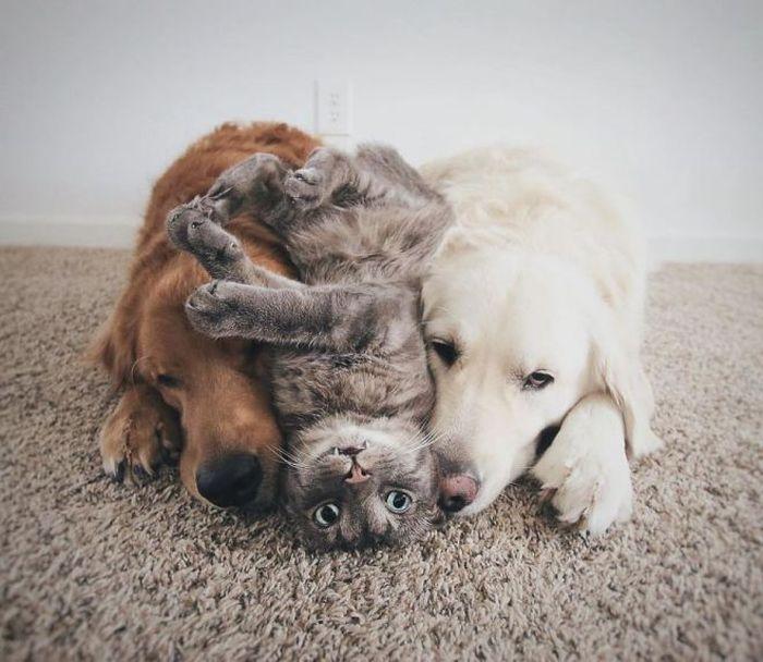 Третий не лишний: пользователи Instagram влюбились в семью ретриверов и их друга-кота