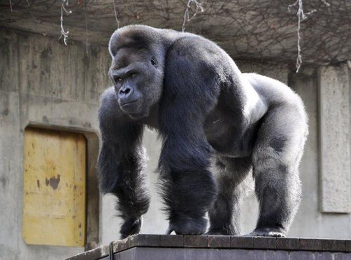 Горилла-красавчик Сабани из зоопарка Хигасияма, по которому японцы сходят с ума