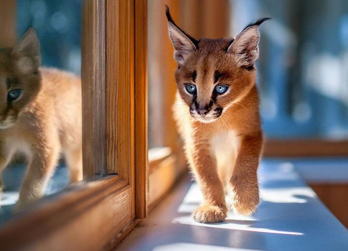 Это самая шикарная порода кошек в мире, которую незаконно содержать дома