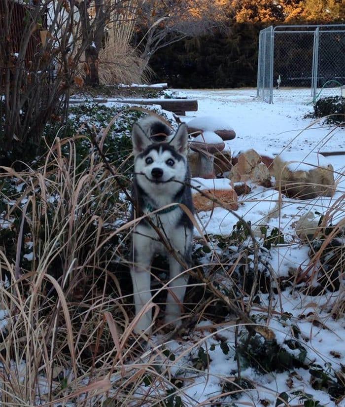 17 фотодоказательств того, что хаски — невероятно харизматичные собаки, с которыми невозможно соскучиться