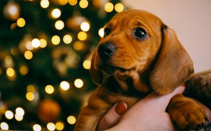 В Германии собачьи приюты прекращают отдавать животных на время рождественских праздников