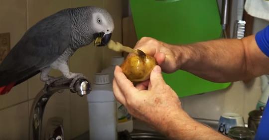 Попугай Кирюша помогает чистить картошку, а заодно и рассказывает о том – о сем